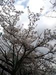 sakuraH230409.jpg